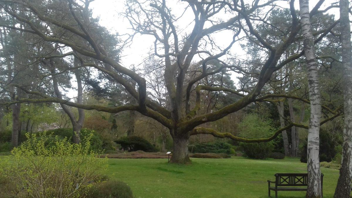 Chêne majestueux présent à l'arboretum des Grandes Bruyères en forêt d'Orléans